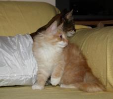 Foto 5 Norwegischer Waldkatzen Kater sucht noch Schmuseplatz