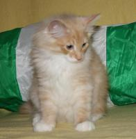 Foto 6 Norwegischer Waldkatzen Kater sucht noch Schmuseplatz