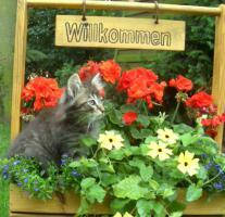 Norwegisches Waldkatzen Baby !