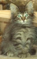 Norwegisches Waldkatzen Baby Katerchen sehr verschmußt, verspielt mit Papiere, Imp