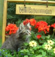Foto 2 Norwegisches Waldkatzen Baby Katerchen sehr verschmußt, verspielt mit Papiere, Imp