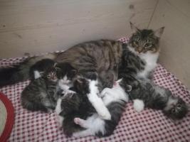 Foto 4 Norwegisches Waldkatzen Baby sehr verschmust, Papiere, Impfungen aus Essen .