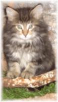 Norwegisches Waldkatzenbaby katerchen