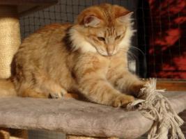 Foto 2 Norwegisches Waldkatzenmädchen in Ambertabby