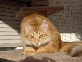 Foto 3 Norwegisches Waldkatzenmädchen in Ambertabby