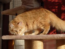 Foto 5 Norwegisches Waldkatzenmädchen in Ambertabby
