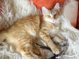 Foto 6 Norwegisches Waldkatzenmädchen in Ambertabby