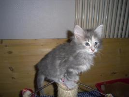 Foto 2 Norwegisches  Waldkatzen Baby traumhaft verschmußt , papiere, Impfungen !