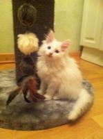 Foto 3 Norwegischewaldkatzen Babys white mit Papiere, Impf.