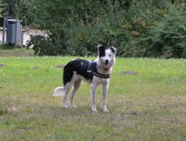 Foto 2 Notfall Border Collie Ben 8 Monate Jung