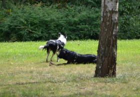 Foto 3 Notfall Border Collie Ben 8 Monate Jung