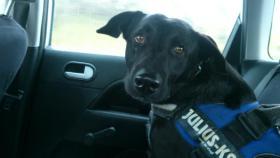 !Notfall ! 1 jähriger Labrador sucht neues Zuhause