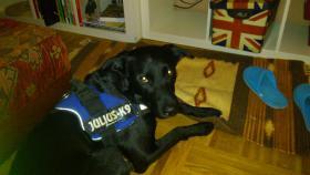Foto 2 !Notfall ! 1 jähriger Labrador sucht neues Zuhause