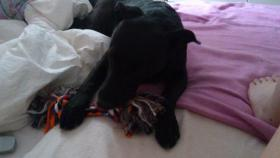 Foto 4 !Notfall ! 1 jähriger Labrador sucht neues Zuhause