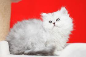Nur noch 1 süßes Perser Baby mit Stammbaum