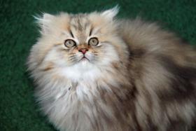 Nur noch 1  süße Perser Baby(Junge) mit Nase auf Wunsch mit Stammbaum