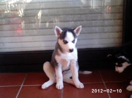 Foto 2 Nur noch 2 reinrassige siberian Husky Welpen....warten auf Euch!!!