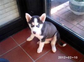 Foto 4 Nur noch 2 reinrassige siberian Husky Welpen....warten auf Euch!!!