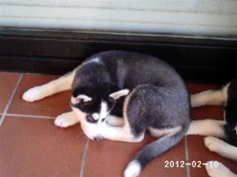 Foto 5 Nur noch 2 reinrassige siberian Husky Welpen....warten auf Euch!!!
