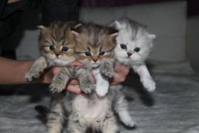 Nur noch 2 süße Perser Babys mit Nase , auf Wunsch mit Stammbaum