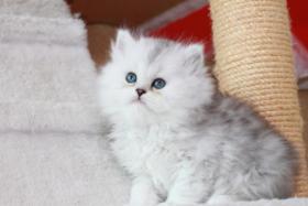 Nur noch 2 süße Perser Babys mit Stammbaum