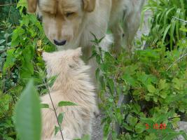 Foto 8 Nur noch ein Golden Retriever Mädchen welpen