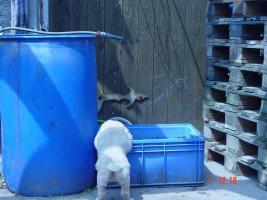 Foto 9 Nur noch ein Golden Retriever Mädchen welpen