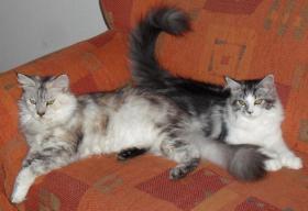 Foto 2 Nur noch Zwei Maine Coon Kitten zur abgabe