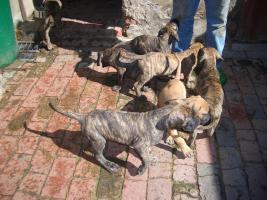 Foto 2 Nur noch zwei Deutsche Doggen Welpen gestromt