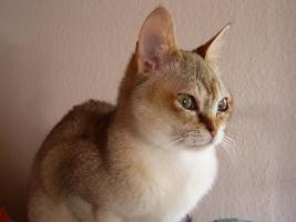 Foto 3 OKH/Singapura Katzenbabies