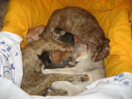 Foto 4 OKH/Singapura Katzenbabies