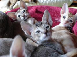 Foto 5 OKH/Singapura Katzenbabies
