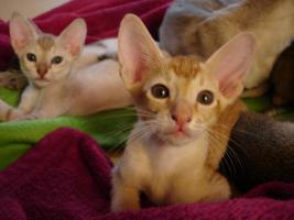 Foto 6 OKH/Singapura Katzenbabies