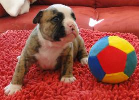 Foto 3 OLDE  ENGLISH  BULLDOG  -  WELPEN
