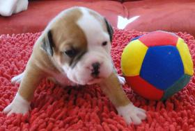 Foto 4 OLDE  ENGLISH  BULLDOG  -  WELPEN