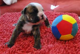 Foto 5 OLDE  ENGLISH  BULLDOG  -  WELPEN