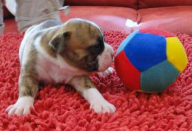 Foto 7 OLDE  ENGLISH  BULLDOG  -  WELPEN