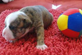Foto 9 OLDE  ENGLISH  BULLDOG  -  WELPEN