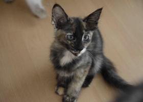 OLH Orientalisch Langhaar Kitten (Javanesen, Siam)