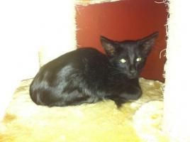 Foto 4 OLH Orientalisch Langhaar Kitten (Javanesen, Siam)