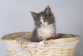 Foto 2 Oberwalls Kitten