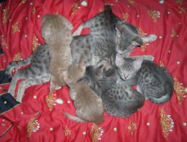 Ocicat-Katzenbabys m.Pap. zum Super-Hammer-Sparpreis !!!
