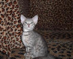 Foto 2 Ocicat-Katzenbabys m.Pap. zum Super-Hammer-Sparpreis !!!