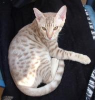 Ocicat-Kitten in fawn silver spotted zum Hammerpreis !!!