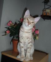 Foto 2 Ocicat-Kitten in fawn silver spotted zum Hammerpreis !!!