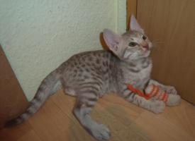 Foto 2 Ocicat-Kitten - Kleine Kostbarkeiten im Tupfenlook !