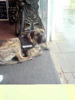 Foto 2 Old English Bulldog R�de
