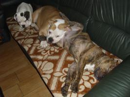 Old englishe Bulldoggen Welpen   Rüden