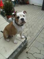Foto 2 Old.English.Bulldog Welpe