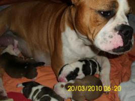 Foto 3 Old.English.Bulldog Welpen